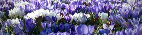 crocus (c) Image by bernswaelz on Pixabay