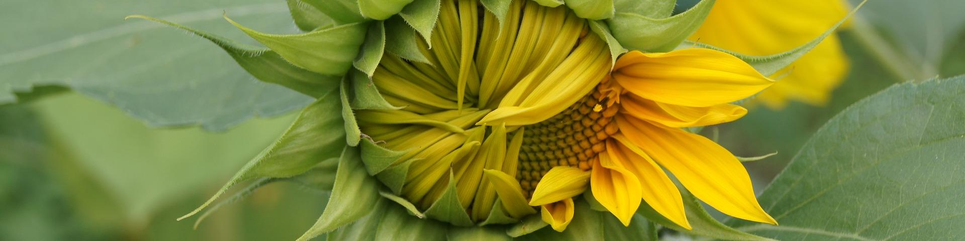 sunflower-1942825_1920 (1) (c) pixabay